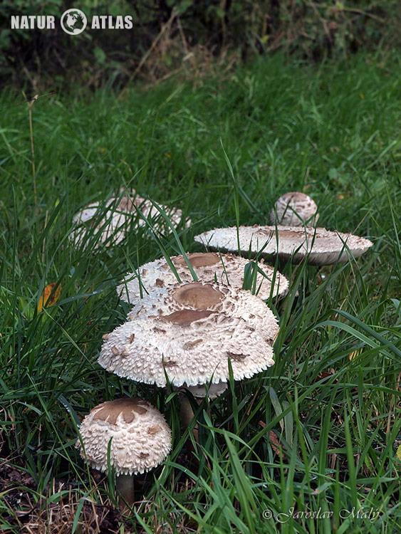 bedla zahradní (Chlorophyllum brunneum)