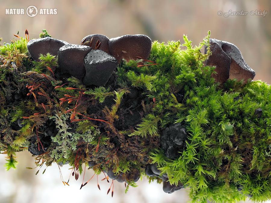 černorosol uťatý (Exidia truncata)