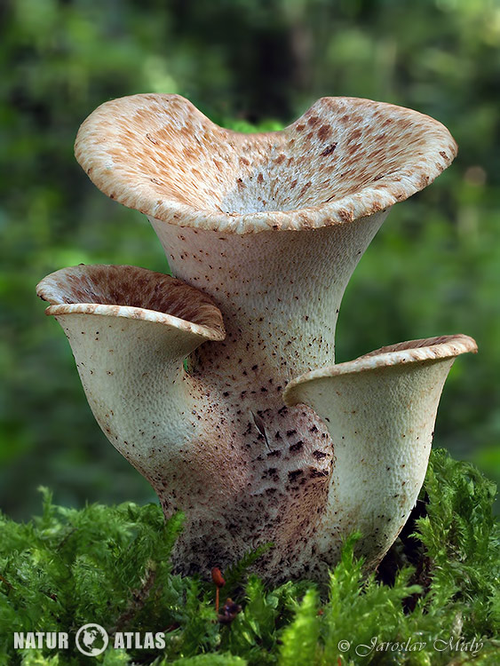 choroš šupinatý (Polyporus squamosus)