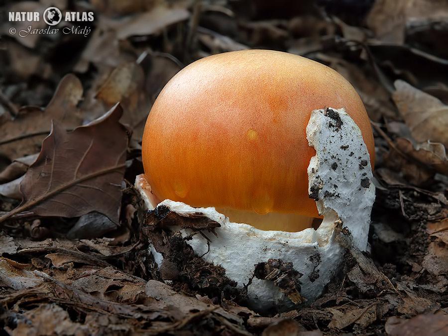 muchomůrka císařka (Amanita caesarea)