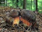 hřib kovář (Neoboletus luridiformis)