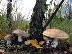 kozák březový (Leccinum scabrum)