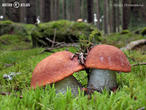 křemenáč smrkový (Leccinum piceinum)