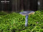 závojenka lesklá (Entoloma nitidum)