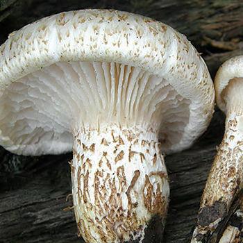 houževnatec šupinatý (Neolentinus lepideus)