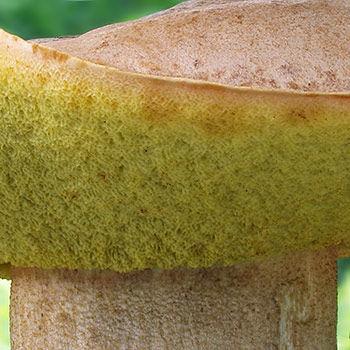 hřib plavý (Hemileccinum impolitum)