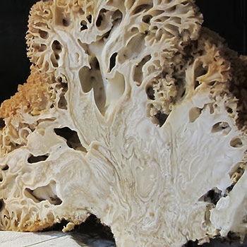kotrč kadeřavý (Sparassis crispa)