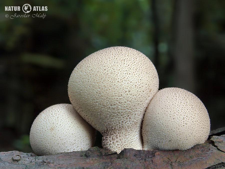 pýchavka hruškovitá (Lycoperdon pyriforme)