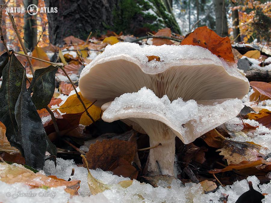 strmělka mlženka (Clitocybe nebularis)