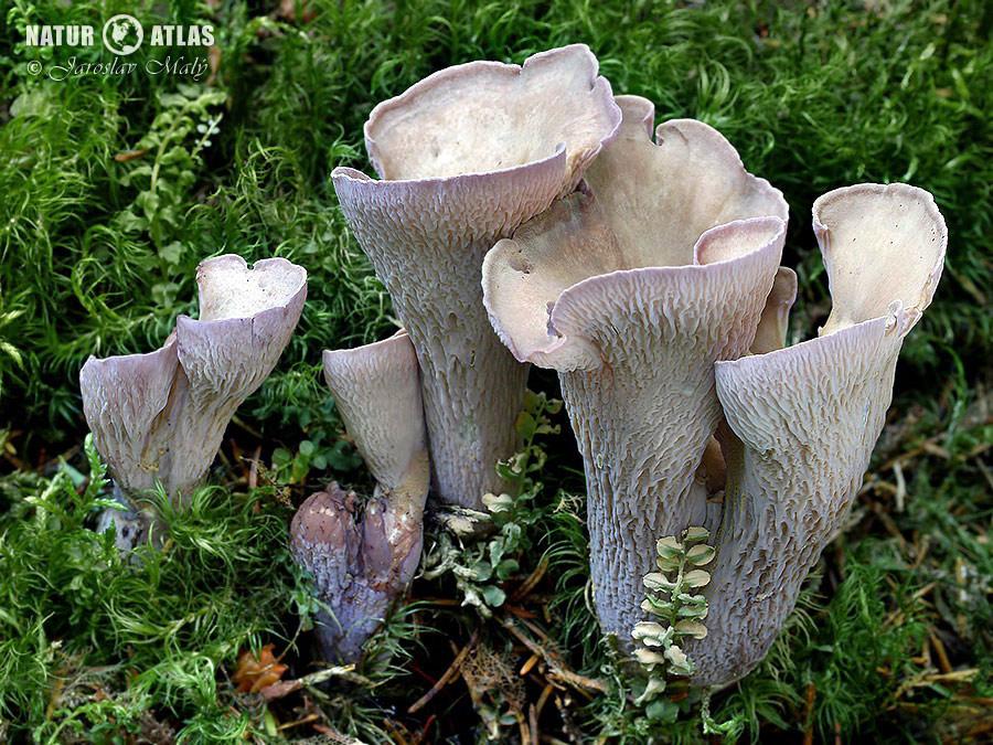 stročkovec kyjovitý (Gomphus clavatus)