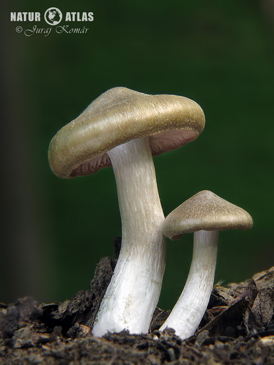 závojenka podtrnka (Entoloma clypeatum)