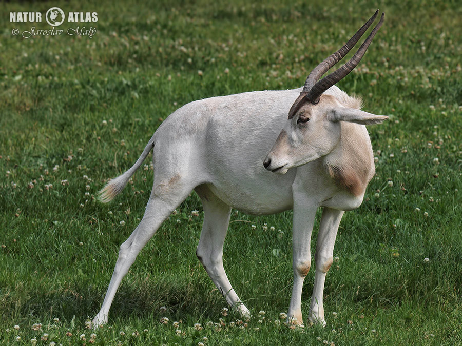 adax núbijský (Addax nasomaculatus)