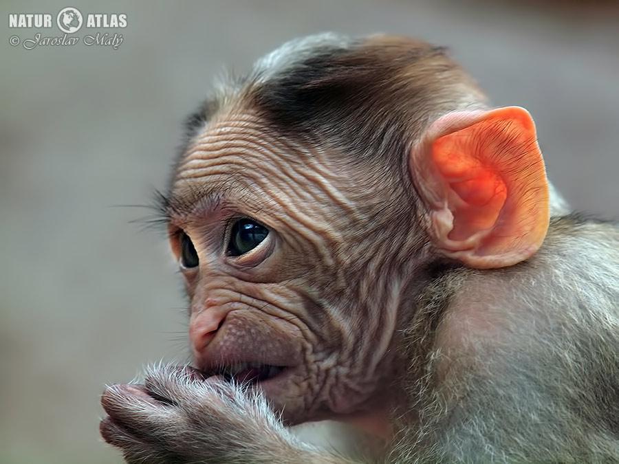 makak kápový (Macaca radiata)
