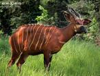 bongo horský (Tragelaphus eurycerus isaaci)