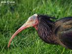 ibis skalní (Geronticus eremita)