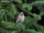 konopka obecná (Carduelis cannabina)