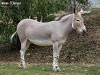 osel somálský (Equus africanus somaliensis)