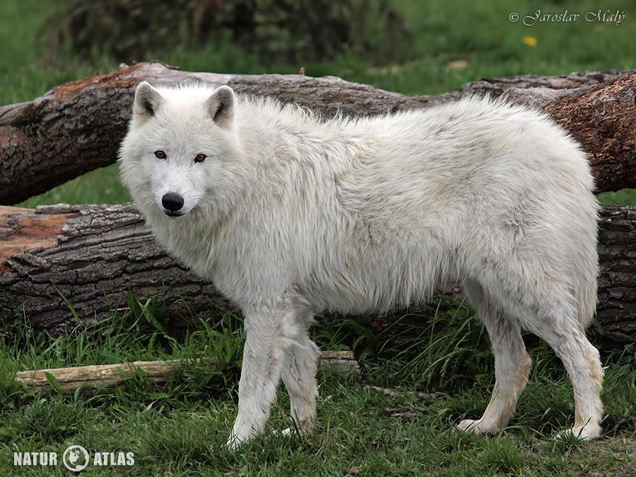 vlk arktický (Canis lupus arctos)