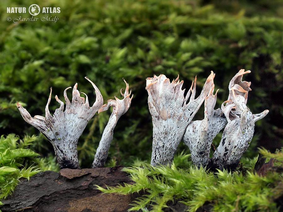 dřevnatka parohatá (Xylaria hypoxylon)