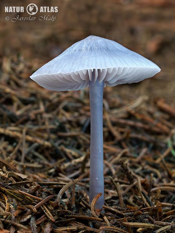 helmovka ředkvičková (Mycena pura)