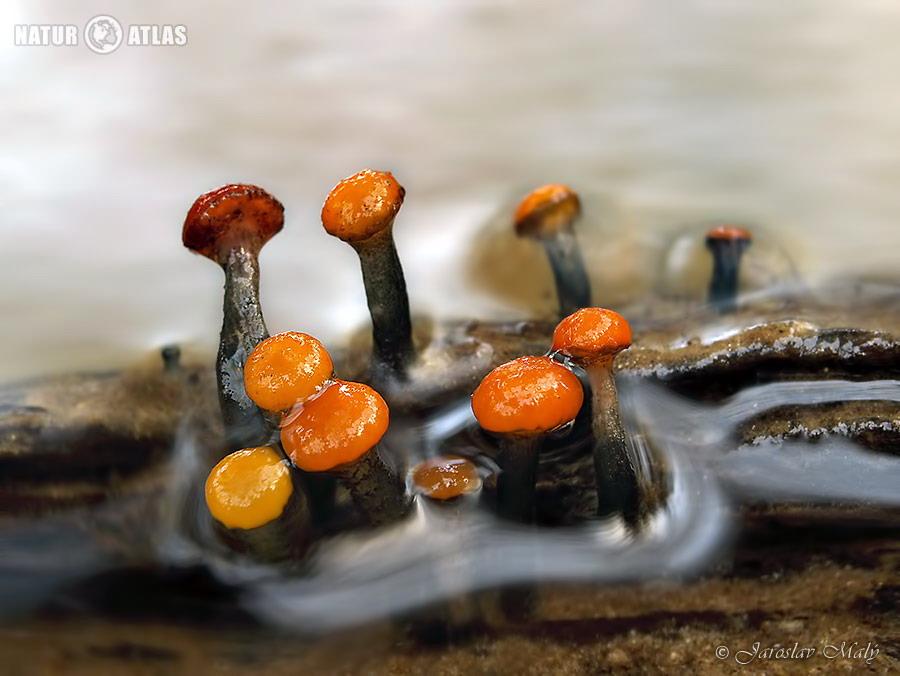 míhavka vodní (Vibrissea truncorum)