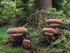čechratice černohuňatá (Tapinella atrotomentosa)