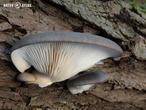 hlíva ústřičná (Pleurotus ostreatus)