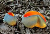 krasočíška žlutá (Caloscypha fulgens)