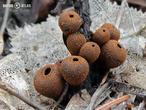 ohnivec černý (Plectania melastoma)