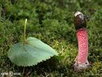 psivka Ravenelova (Mutinus ravenelii)