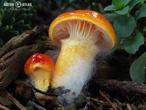 šťavnatka zlatá (Hygrophorus hypothejus var. aureus)