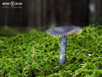 závojenka lesklá (Entoloma nitida)