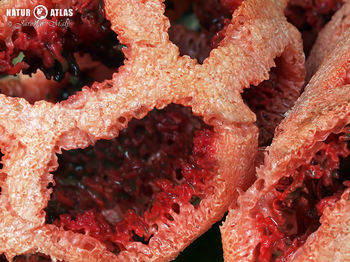 mřížovka červená (Clathrus ruber)