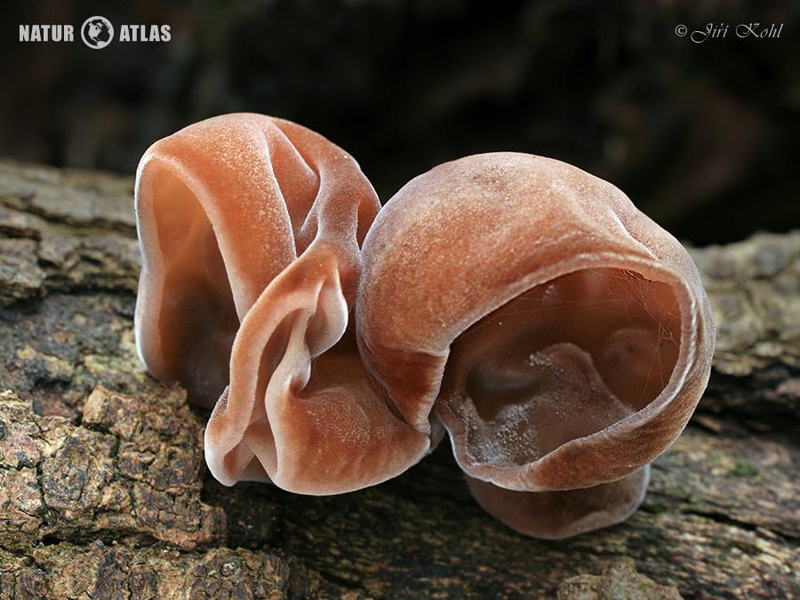 ucho Jidášovo (Auricularia auricula-judae)
