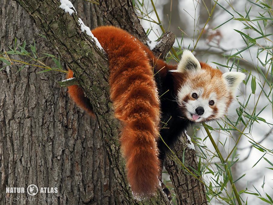 panda červená (Ailurus fulgens)