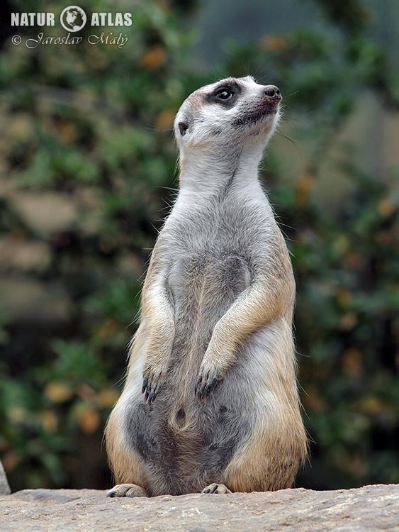 surikata (Suricata suricatta)